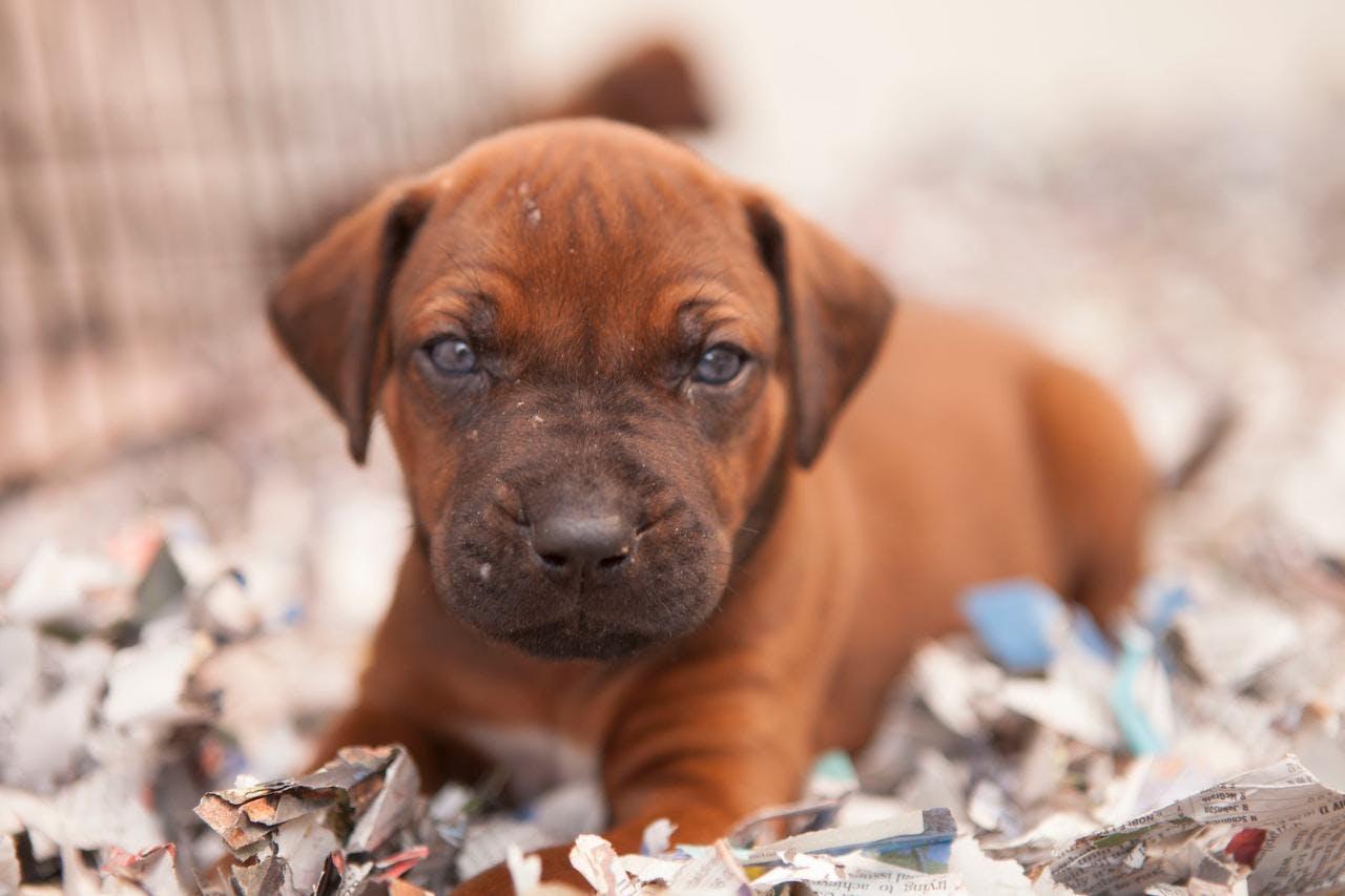 цена щенка родезийского риджбека