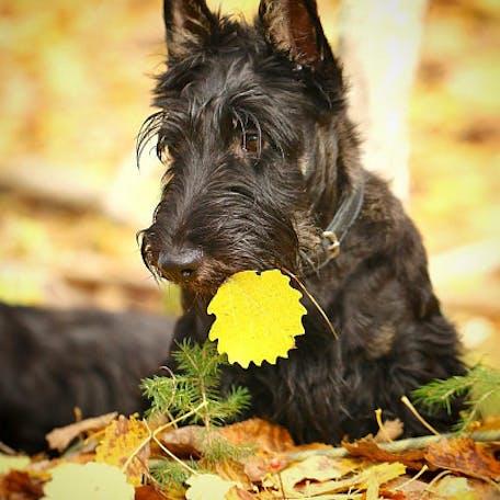 собака Шотландский терьер