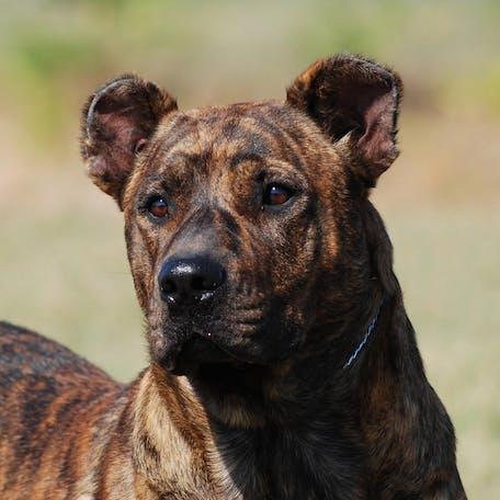 собака Уругвайский симаррон