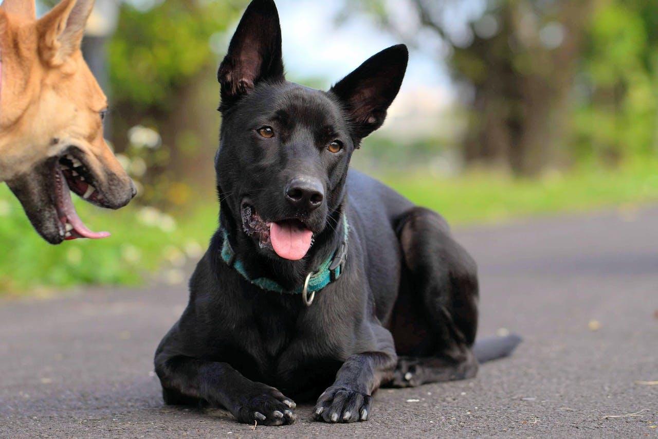 характер породы тайванская собака