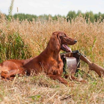собака породы Ирландский сеттер