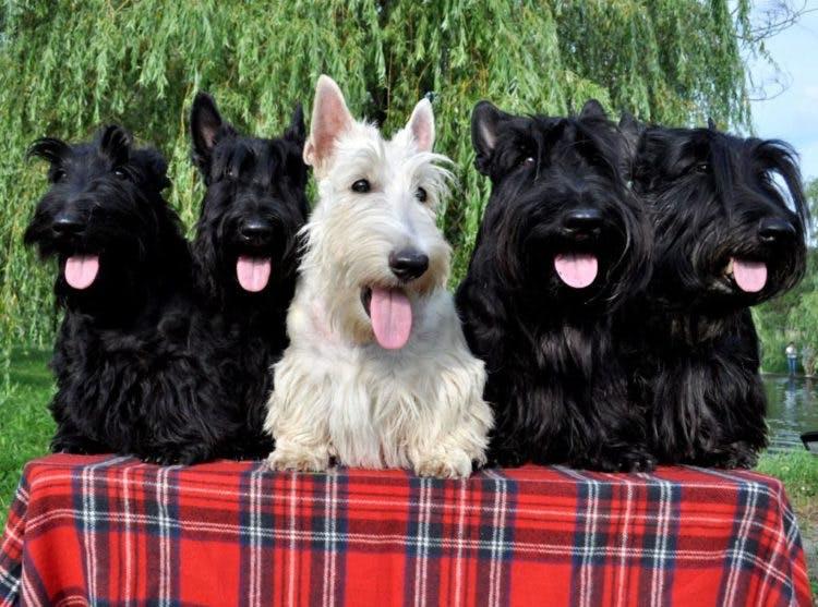 характер породы шотландский терьер