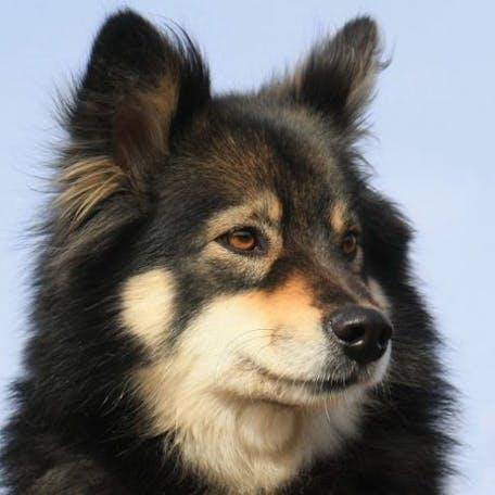 собака Финский лаппхунд