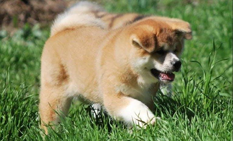 Акита-ину (японская акита): описание породы, характер, цена щенков в России, фото