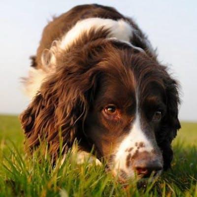 собака породы Французский спаниель