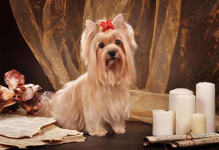 особеннности породы Русская салонная собака