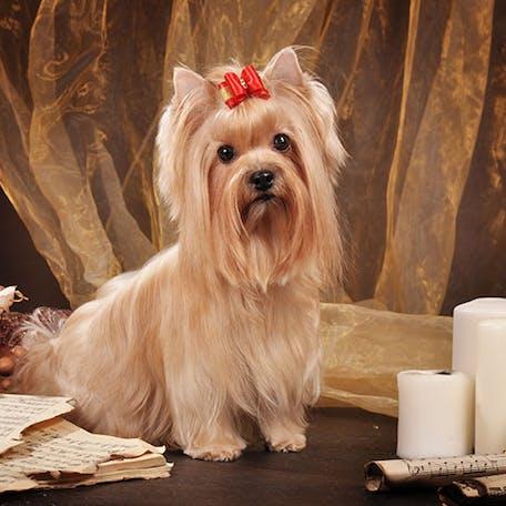 фото породы Русская салонная собака