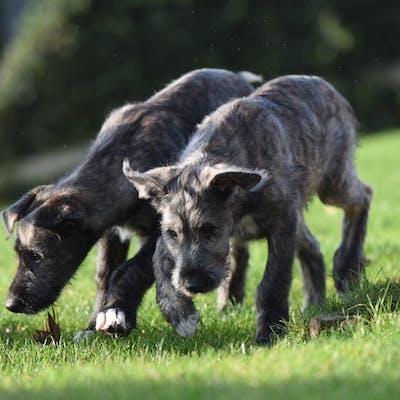 щенки породы Ирландский волкодав