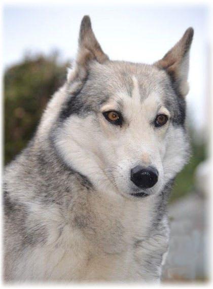 уход за собакой западно-сибирской лайкой