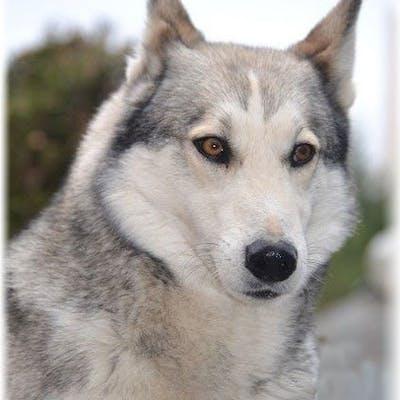 окрас собаки западно-сибирская лайка