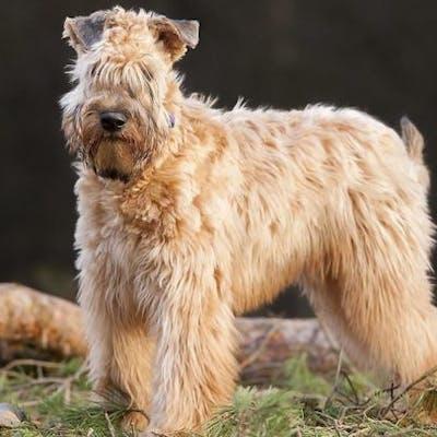 собака породы Ирландский мягкошёрстный пшеничный терьер