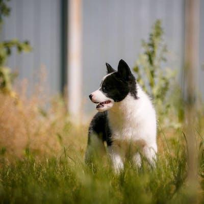 собака Русско-европейская лайка