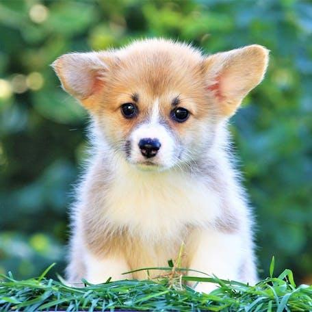 щенок вельш-корги пемброк