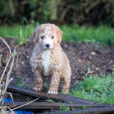 порода Испанская водяная собака