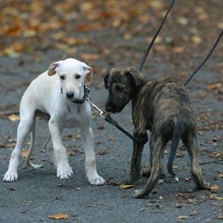 щеки собаки испанский гальго