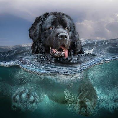 Ньюфаундленд в воде