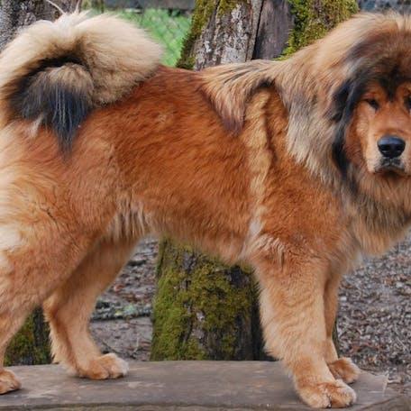 собака породы Испанский мастиф