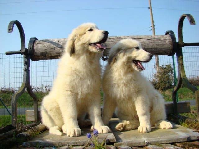 характер породы Пиренейская горная собака