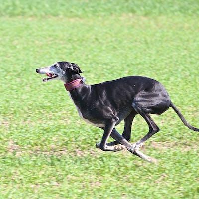 собака породы испанский гальго