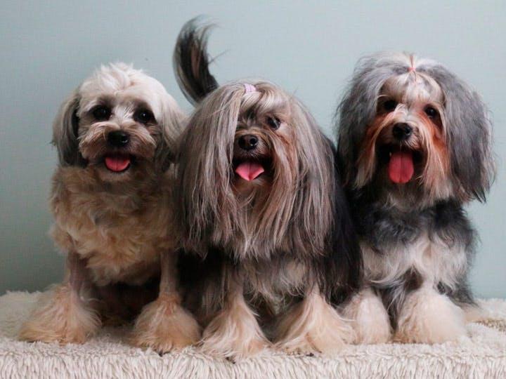особенности породы Малая львиная собака