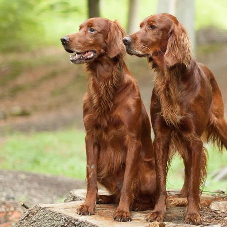 собаки Ирландский сеттер
