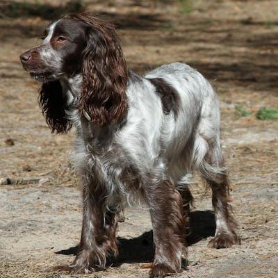 собака породы Русский охотничий спаниель