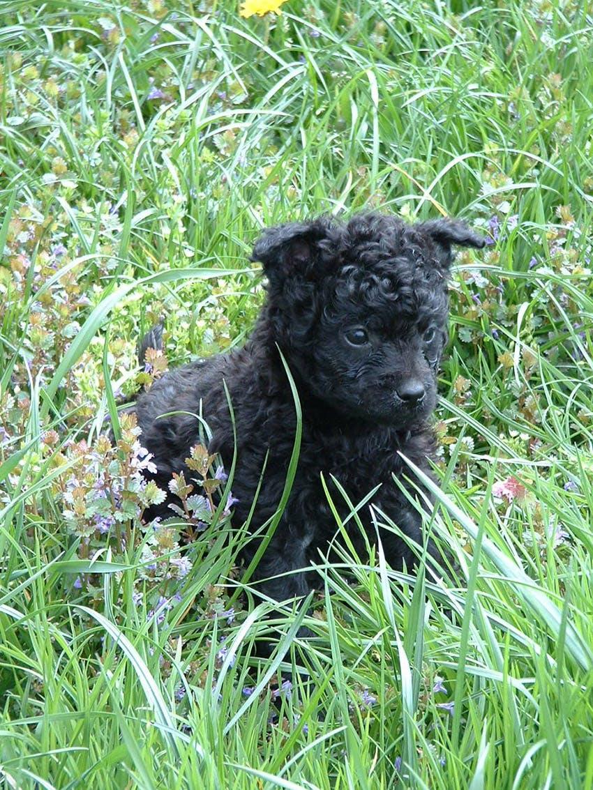 щенок породы хорватская овчарка