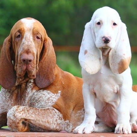 собака Испанская гончая