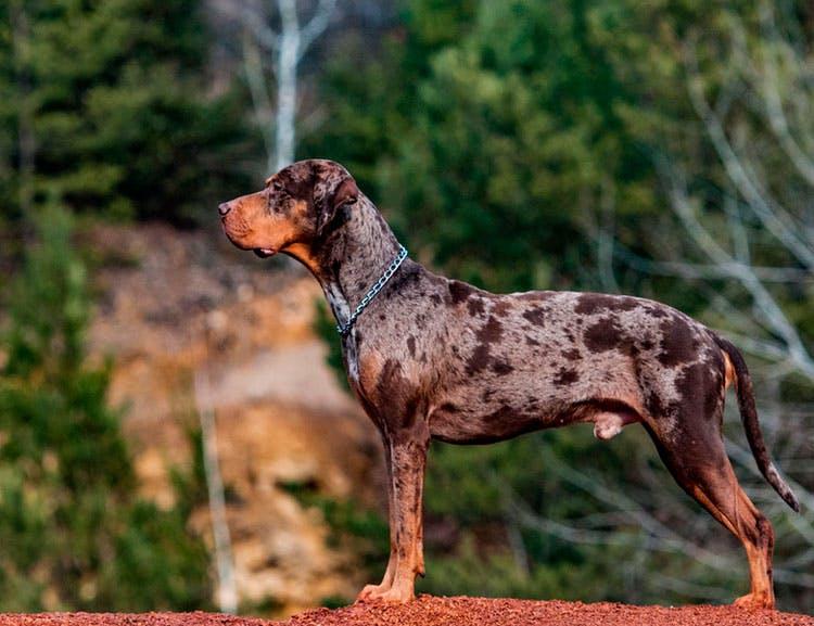 особенности породы Леопардовая собака Катахулы