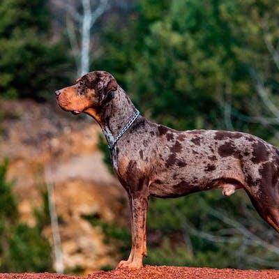 размер породы Леопардовая собака Катахулы
