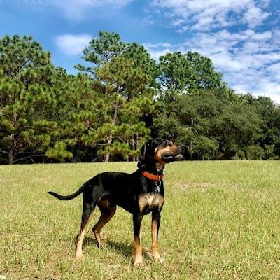 собака породы Трансильванская гончая
