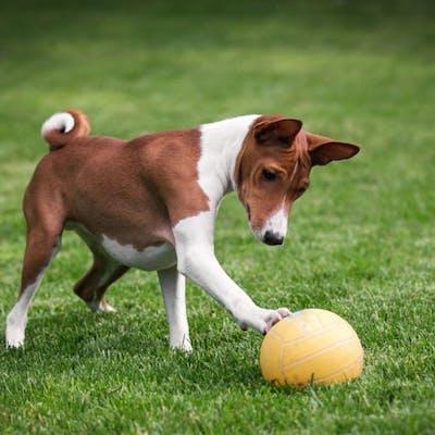 басенджи играет в мяч