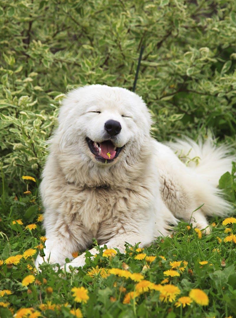 характер породы Мареммо-абруццкая овчарка