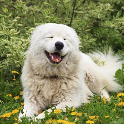 собака Мареммо-абруццкая овчарка