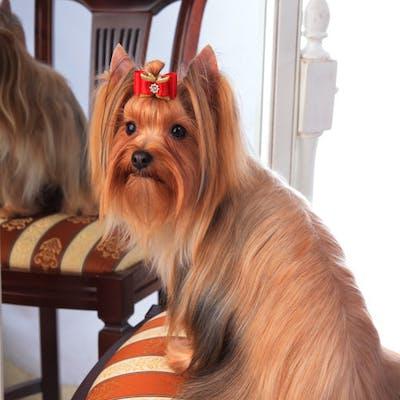 собака породы Русская салонная собака