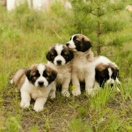щенки породы Московская сторожевая собака
