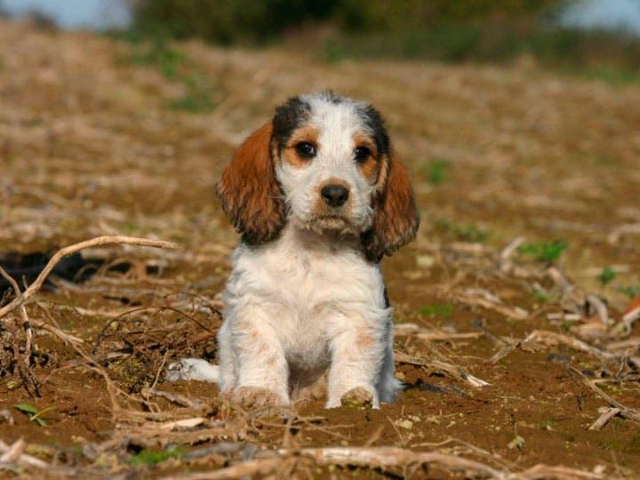 цена щенка малого вандейского бассета гриффона