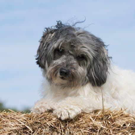 щенок породы Малая львиная собака