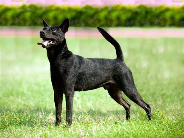 особенности породы Тайваньская собака