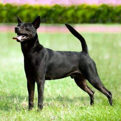 собака породы Тайваньская собака