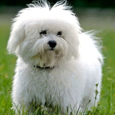 собака Французская болонка (болоньез)