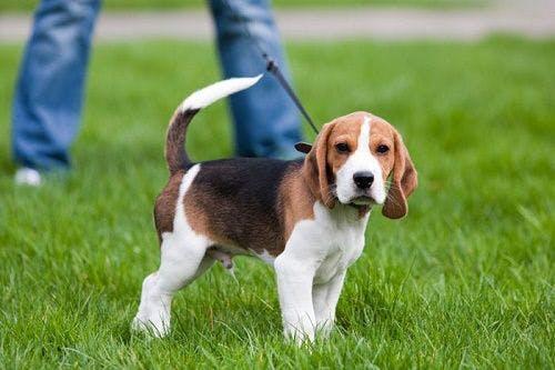 цена РПГ щенка