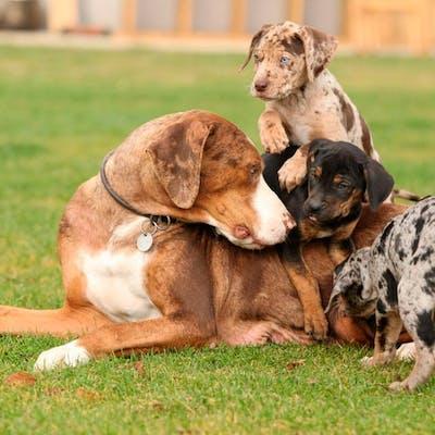 фото Леопардовой собаки Катахулы