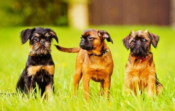 особенности породы Малая бельгийская собака