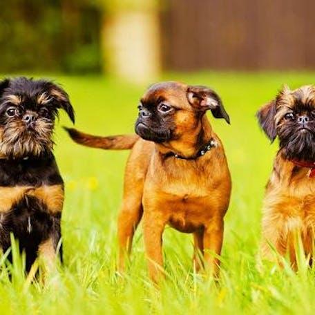 собаки Малая бельгийская собака