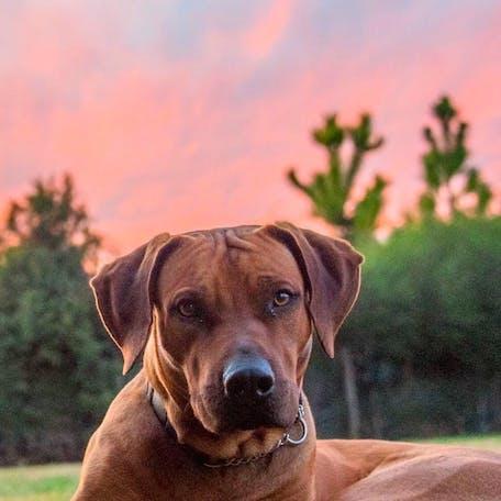 фото собаки Родезийский риджбек
