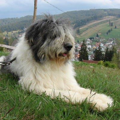 собака Румынская миоритская овчарка