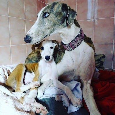 щенок породы испанский гальго