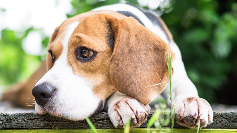 характер собаки бигль