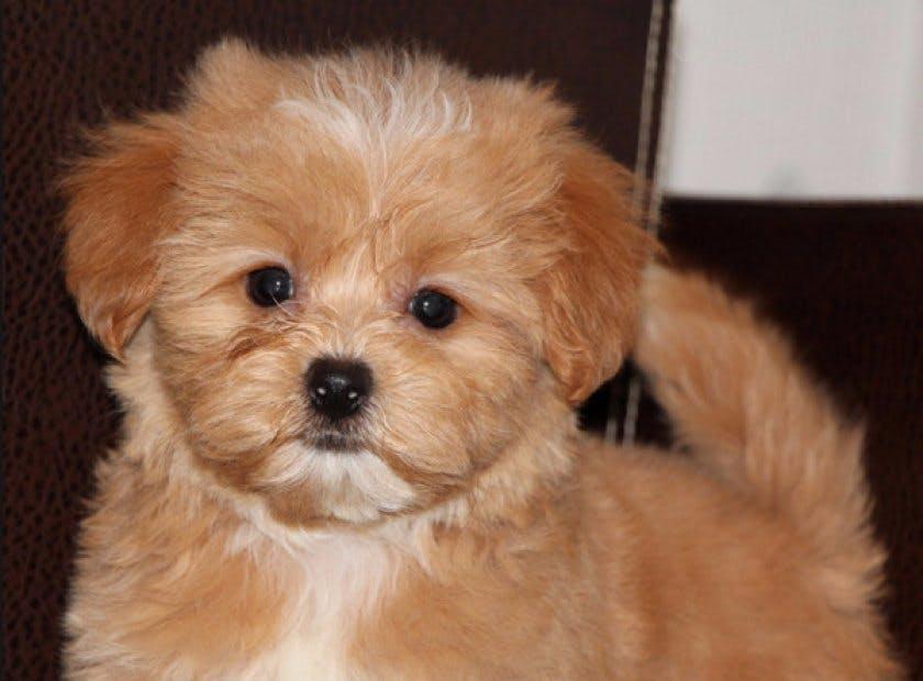Собаки и щенки Болонка в Екатеринбурге  - Объявления Екатеринбурга
